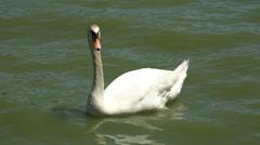 Mute Swan, Birds, Animals, Nature, Wildlife Stock Footage