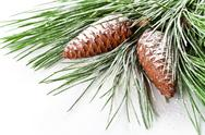 Stock Photo of fir tree branch with pinecones