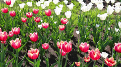 field of blooming different color tulips - slider dolly shot - stock footage