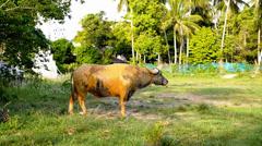 Buffalo grazes on the Meadow. Stock Footage