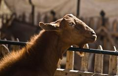 Brown goat and fence - stock photo