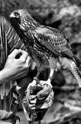 Caress my falcon - stock photo