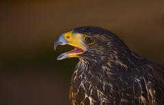 Harris hawk open beak - stock photo