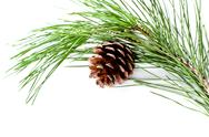 Stock Photo of fir tree branch with pinecone