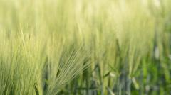 detail of barley field,locked down, rack focus - stock footage