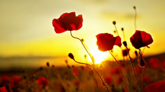 amazing fire flower. a beautiful red flower on a background of fiery sunset. - stock footage