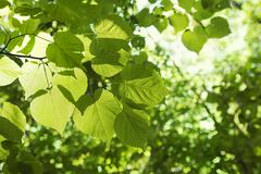 Linden tree - stock photo