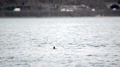 mallard ducks in Kawaguchiko lake - stock footage