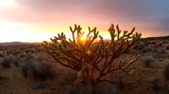 Sunset Through Cholla Cactus Bush In Arizona Desert Stock Footage