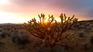 Stock Video Footage of Sunset Through Cholla Cactus Bush In Arizona Desert