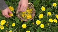 Pick fresh dandelion flower for healthy food Stock Footage