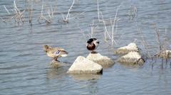 Mallard ducks in Kawaguchiko lake Stock Footage