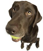 Dog sitting with tennis ball Stock Photos