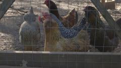 Chickens Dolly Right Stock Footage