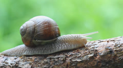 Macro of beautiful snail crawling in nature. Helix pomatia. 2 Stock Footage