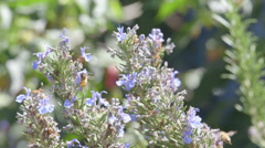 Bees in Rosemary Stock Footage
