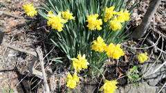 Stock Video Footage of Yellow irises in the garden