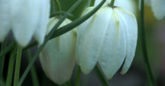 White snowdrop flowers Stock Footage