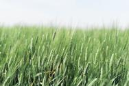Stock Photo of Hazy Wheat Field