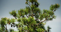 The pine tree with green leaves Stock Footage