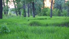 Summer forest landscape at sunset - slider dolly shot Stock Footage