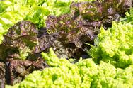 Stock Photo of lettuces of varieties wonder.