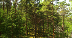 Lots of tall pine trees Stock Footage