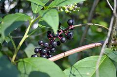 Pokeweed (Phytolacca Americana) - stock photo
