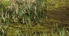 Lots of green typha grasses Stock Footage