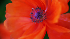 Blooming poppies Stock Footage