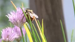 Busy Bee on Flowering Chives 2 Stock Footage