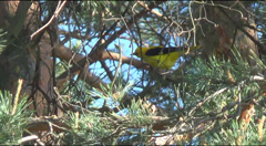 Oriole on a branch of pine Stock Footage