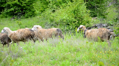 Sheep are being herded on plateau Stock Footage