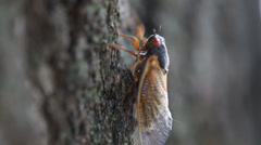 HD 1080p - 17 year Cicada insect walking up tree Stock Footage
