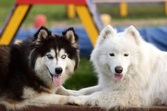 Siberian husky and alaskan malamute Stock Photos
