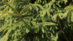 Background of Christmas tree branches, close-up view Stock Footage