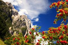 Alpine rowan(berry) Stock Photos