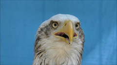 Bald Eagle, bird of prey screeching Stock Footage