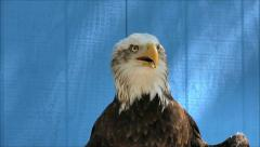 Bald Eagle, bird of prey speaks Stock Footage