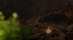 Axolotl salamander-Ambystoma mexicanum, sucking food eating-Dan Stock Footage