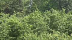 Forest, Trees, Foliage, Nature, Natural - stock footage