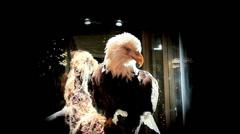 Bald Eagle, Slow Motion Camera Stock Footage