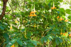 yellow flower on datura tree - stock photo