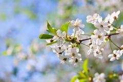 Stock Photo of blooms tree branch in spring