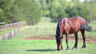 Stock Video Footage of Beautiful chestnut horse grazing on pasture at summer season, copyspace