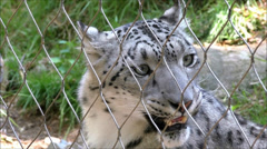 Snow Leopard in zoo captivity Stock Footage