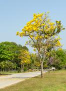 Tabebuia argentea tree Stock Photos