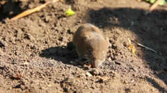 Little mouse in the field Stock Footage