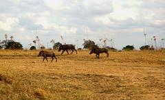 warthod wild animals in tanzania - stock photo