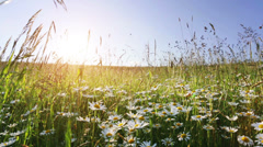 Daisy flower meadow field against blue sky and sunset with wind Stock Footage